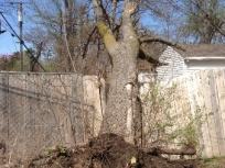 storm-damaged-hackberry
